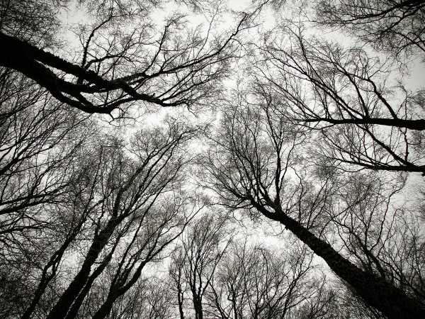 Winter is Here, naked trees from below
